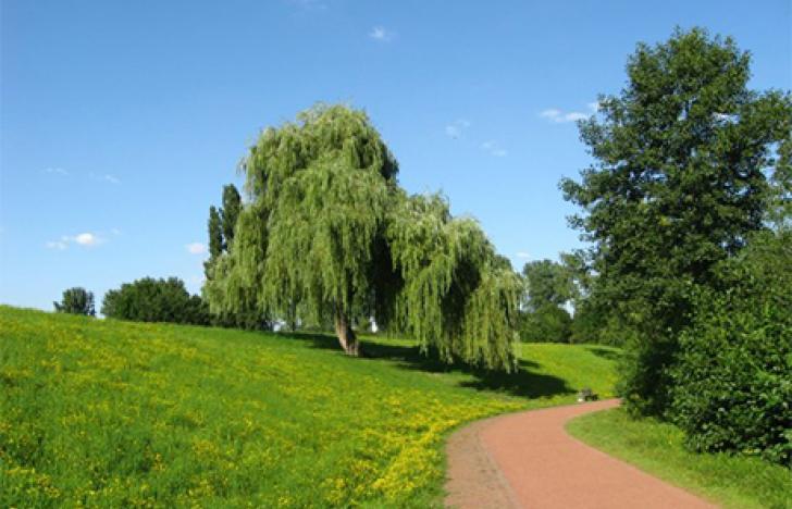 Hängende Zweige